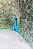 Peacock shows its tail Stock Photography