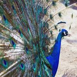 Peacock shows open its beautiful tail stock photo
