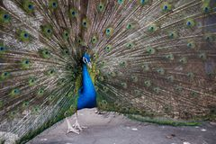 The peacock shows the tail, the peacock presents feathers, arranges courtship, Peacock`s Eye royalty free stock photography