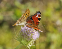Peacock and Silver-washed Fritillary Stock Images