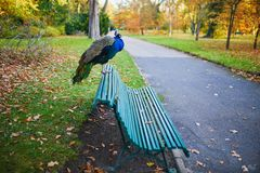 Peacock sitting on the bench