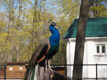 Peacock is sitting on the branch in the zoo stock images