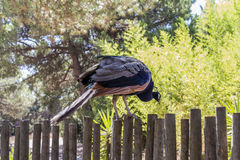 Peacock sitting on a fence waiting to jump Stock Image