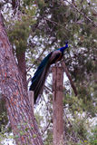 Peacock sitting in the forest on tree Stock Photography