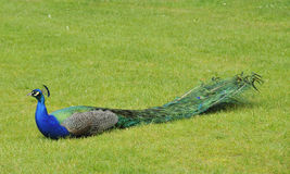 Peacock sitting on grass. View of full length of peacock sitting on grass with wings collapsed Stock Image
