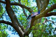 Peacock sitting in a tree. A male peacock sitting on a tree with his colorful tail hanging over a branch Stock Photo