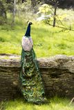 Peacock sitting on a trunk in a sunny day Stock Image