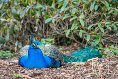 Peacock sleeping Royalty Free Stock Photography