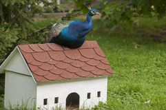 Peacock on small house. Charming peacock sitting on a small house Royalty Free Stock Images