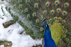 Peacock in the snow Royalty Free Stock Image