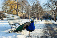 Peacock on the snow. In the park, Prague royalty free stock photography