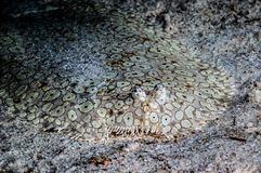 Peacock sole flounder on the bottom of sea in Derawan, Kalimantan, Indonesia underwater photo Stock Image