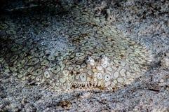 Peacock sole flounder on the bottom of sea in Derawan, Kalimantan, Indonesia underwater photo stock image