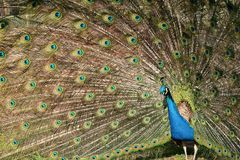 Peacock spinning a wheel. In a zoo Royalty Free Stock Image