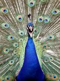 Peacock with spread feathers Stock Images