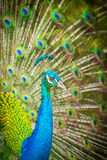 peacock with spread feathers out Royalty Free Stock Photos