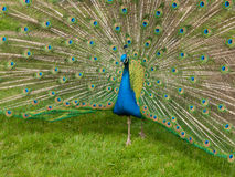 Peacock with spread feathers Royalty Free Stock Photo