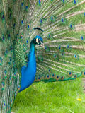 Peacock with spread feathers Royalty Free Stock Photography