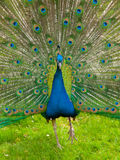 Peacock with spread feathers Royalty Free Stock Image