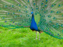 Peacock with spread feathers Royalty Free Stock Images
