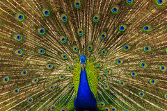 Peacock. Spread its wings to find a partner stock images