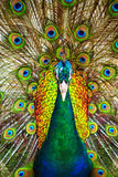 Peacock spread out wings wide feathers. Stock Photo