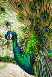 Peacock spread out wings wide feathers. Peacock, emerald green Spread wings wide feathers to show females stock photo
