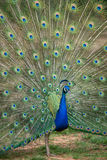 Peacock with Spread Tail. Peacock displaying full tail spred colors Stock Photo