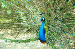 Peacock is Spread tail-feathers. Male peacock is Spread tail-feathers Stock Photography
