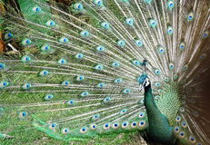 Peacock spread tail-feathers Royalty Free Stock Images