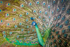 Peacock spread tail-feathers Stock Images