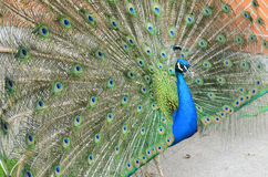 Peacock with spread tail-feathers Stock Photography