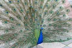Peacock with spread tail-feathers. Green peacock spreading tail-feathers Royalty Free Stock Photography