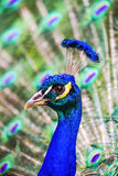 Peacock Spread tail-feathers. Peacock head with spread tai-feathers behind Royalty Free Stock Photography