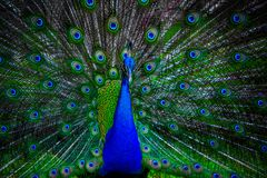 Peacock with spread wings Stock Image