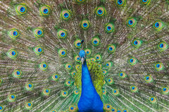 Peacock with spread wings stock photography