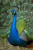 Peacock spreading displaying colorful tail feathers. A male peacock spreads its tailfeathers in a show of brilliant color royalty free stock photo
