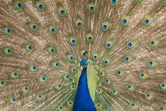 Peacock spreading feathers Stock Images