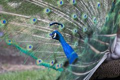 Peacock. Spreading its feathers on a bright day Royalty Free Stock Image