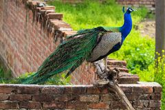 A Peacock spreading its Feathers royalty free stock images