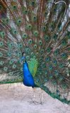 Peacock Spreading Its Tail Feathers Stock Images