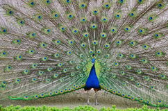 Peacock spreading its tail Royalty Free Stock Image