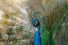 Free Peacock Spreading Tail Feathers Royalty Free Stock Photos - 132311398
