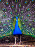 Peacock spreads feather, tail Stock Images