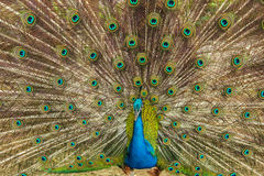 Peacock. Spreads his beautiful tail royalty free stock photo