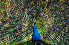 Peacock spreads its tail Stock Image