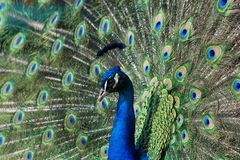 Peacock. Spreads its tail against the female at the time of courtship Royalty Free Stock Images