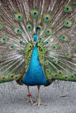 The Peacock Spreads Its Tail Stock Images