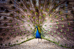 The peacock spreads its tail Royalty Free Stock Photos