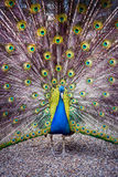 The peacock spreads its tail. The peacock spreads its magnificent tail Royalty Free Stock Photo